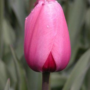 Tulipa-Prima-Vera