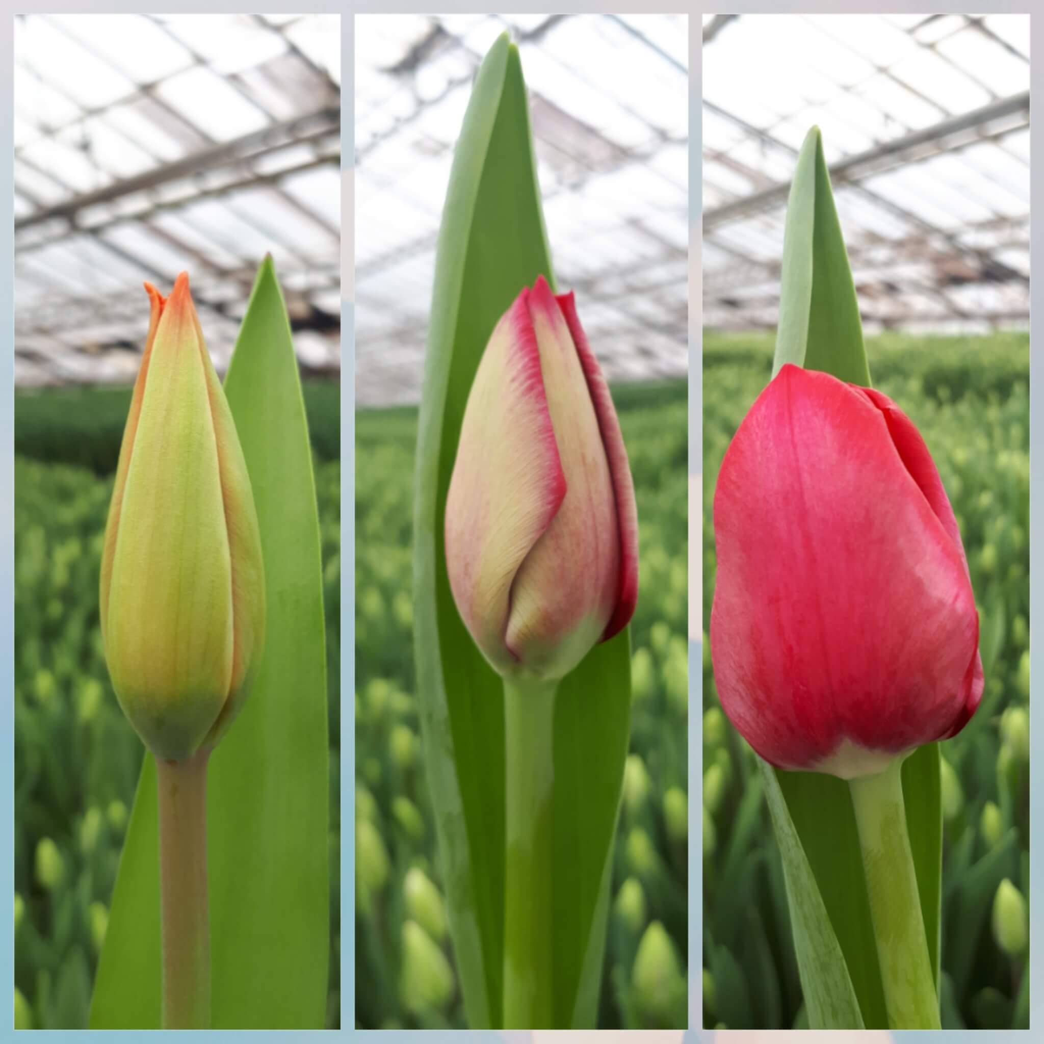 Изображение тюльпанов с закрытыми, полураспустившимися и распустившимися бутонами